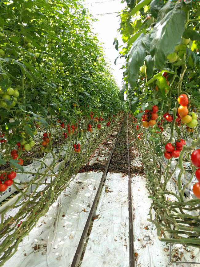 red tasty tom tomatoes in Dutch greenhouse