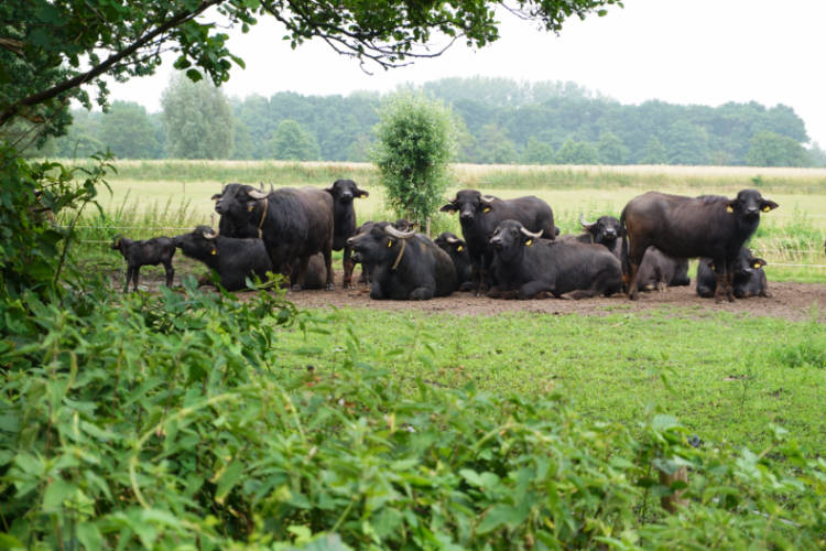 water buffalos relaxing in the grass