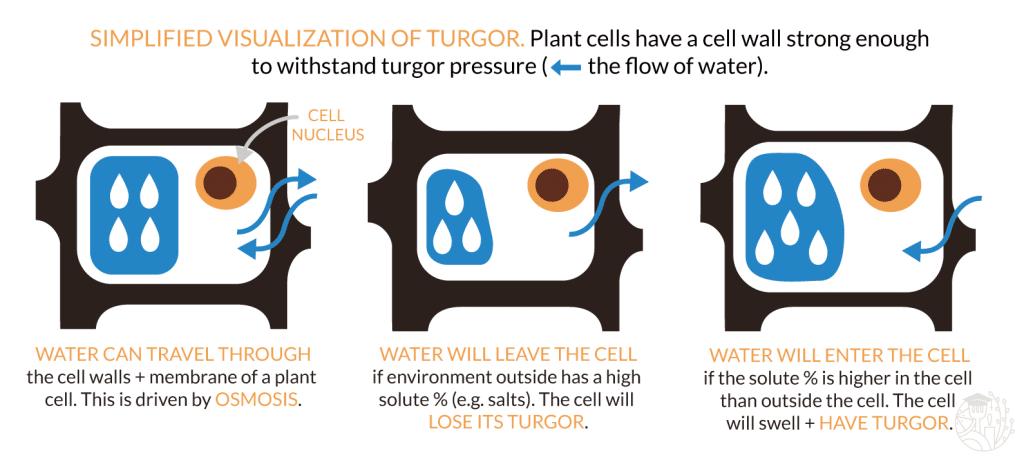 illustration describing turgor in a cell