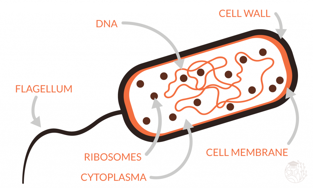 example bacteria structure