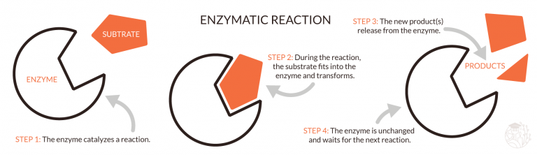 how an enzyme works schematic
